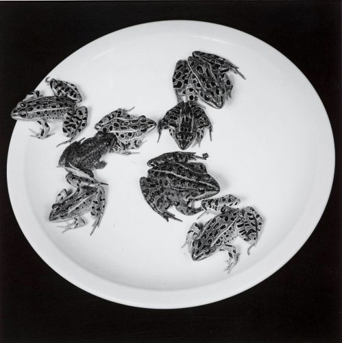 Frogs by Robert Mapplethorpe at