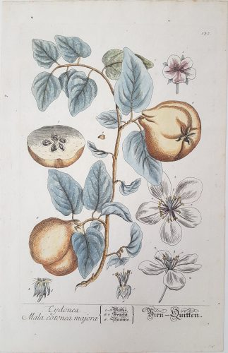 Quinces (Pears) by Elizabeth Blackwell at