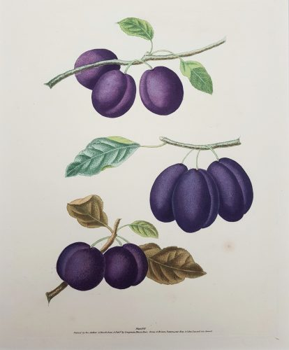 Plums (Plate XVII) by George Brookshaw at