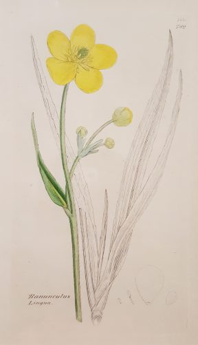 Ranunculus Lingua (Greater Spearwort) by James Sowerby at
