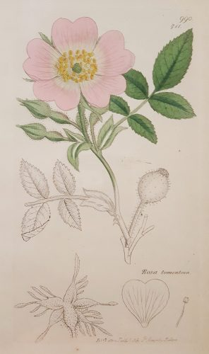 Rosa Tomentosa (Harsh Downy-rose) by James Sowerby at