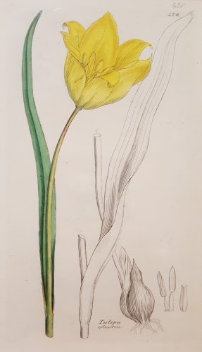 Tulipa Sylvestris (Wild Tulip) by James Sowerby at