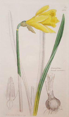 Narcifsus Pseudo-Narcifsus (Wild Daffodil) by James Sowerby at