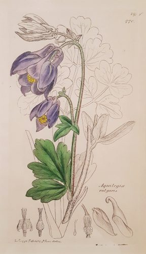 Aquilegia Vulgaris (Common Columbine) by James Sowerby at