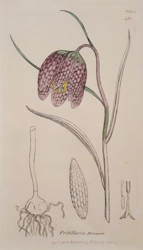 Fritillaria Meleagris (Snake's Head Fritillary) by James Sowerby at