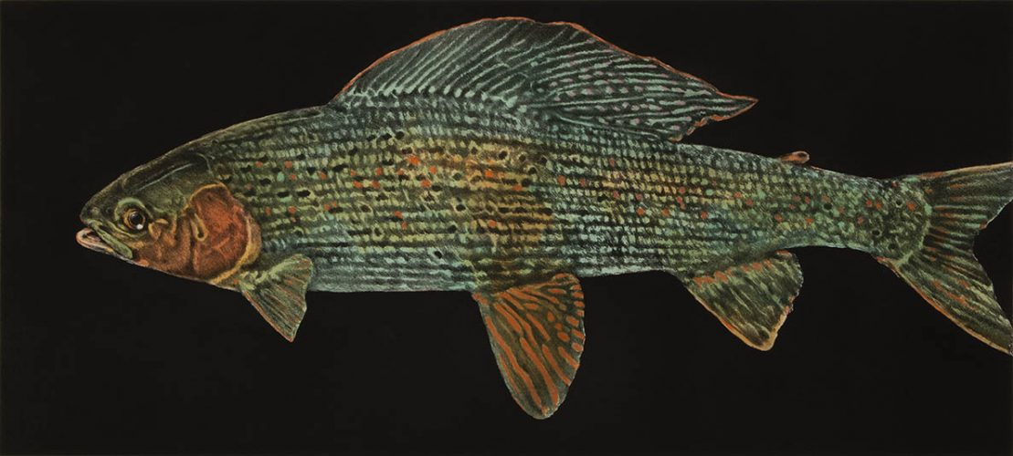 Grayling Trout by Jack Cowin at