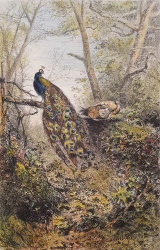 Peacocks on a Bough by Karl Bodmer at