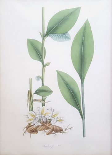 Ginger Lily by William Roscoe at