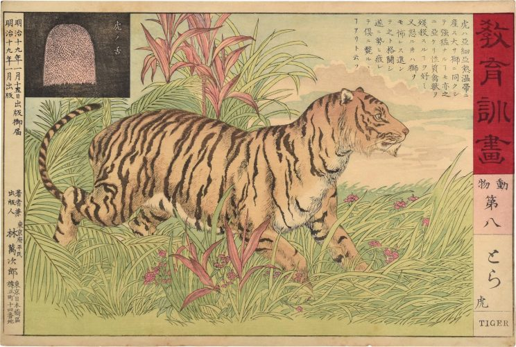 Educational Pictorial Instructions: Animals, no. 8, Tiger by Unknown at